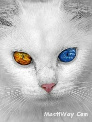 Click image for larger version.  Name:White_Cat.jpg Views:2 Size:54.9 KB ID:20214