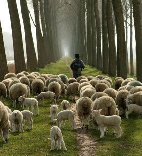 Click image for larger version.  Name:sheep-with-shepherd.jpg Views:14139 Size:24.5 KB ID:38092
